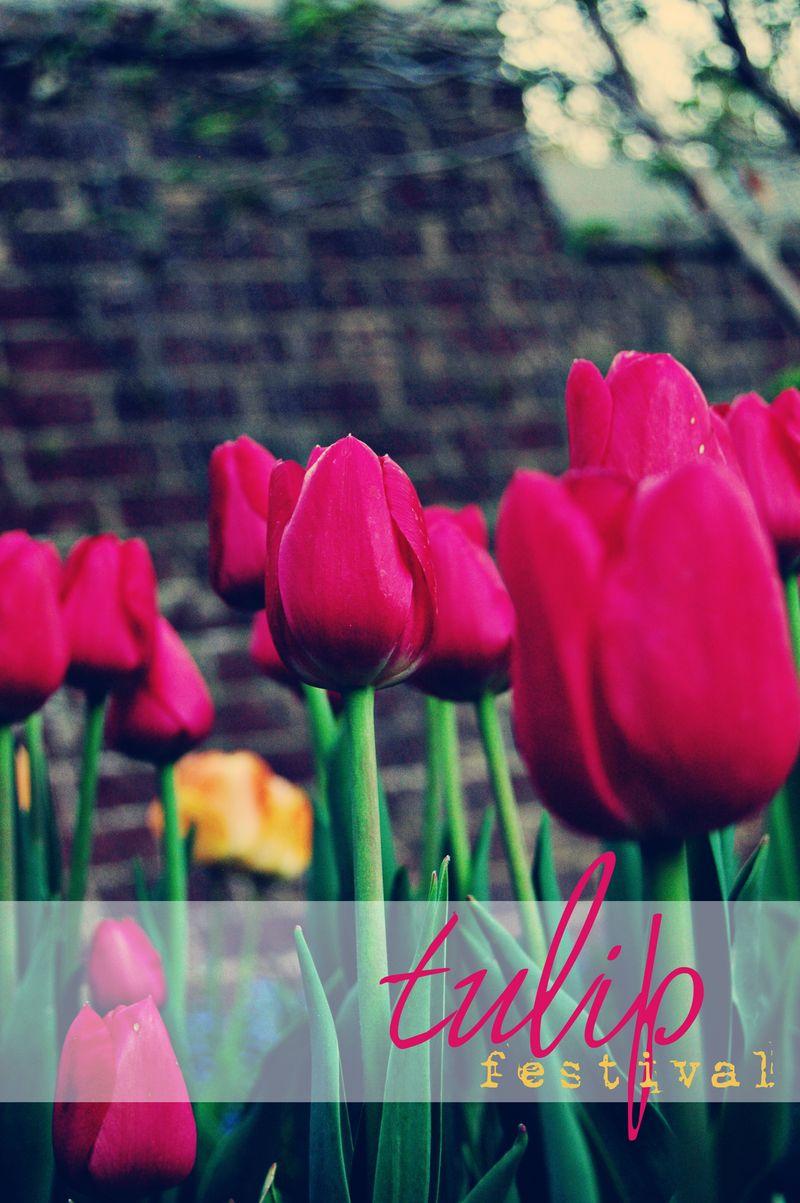 8894_tulip festival